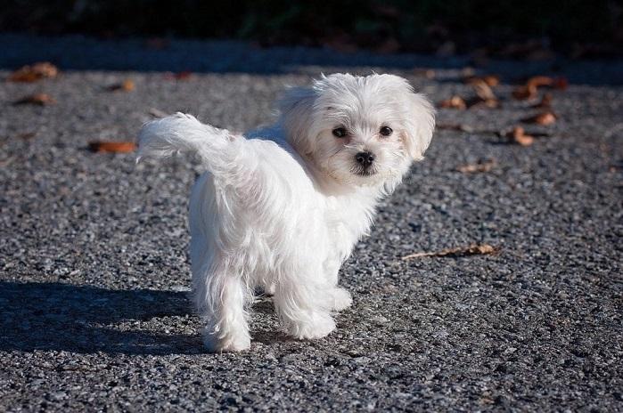 Maltese Small Dog Bread