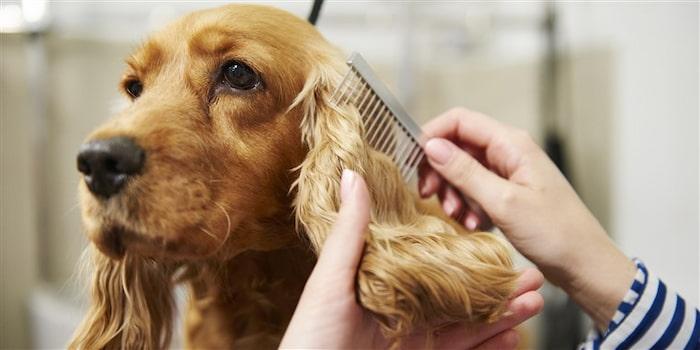 grooming dog's ears